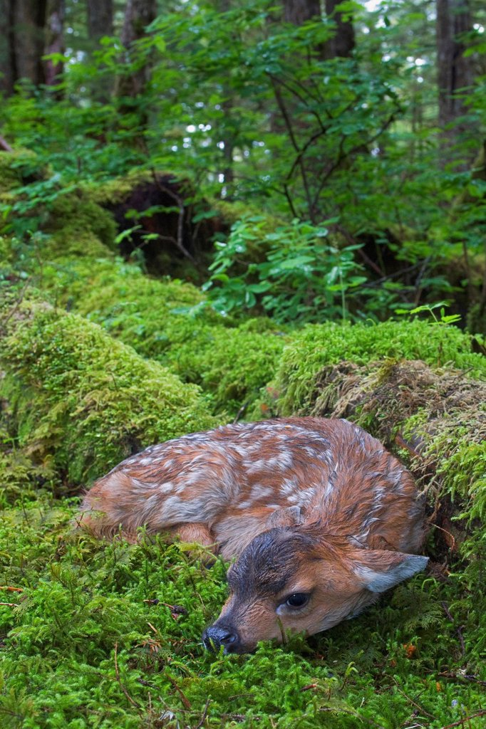 Black_tailed deer fawn lying in moss covered rainforest, Montague Island, Prince William Sound, Southcentral Alaska, Summer : Stock Photo