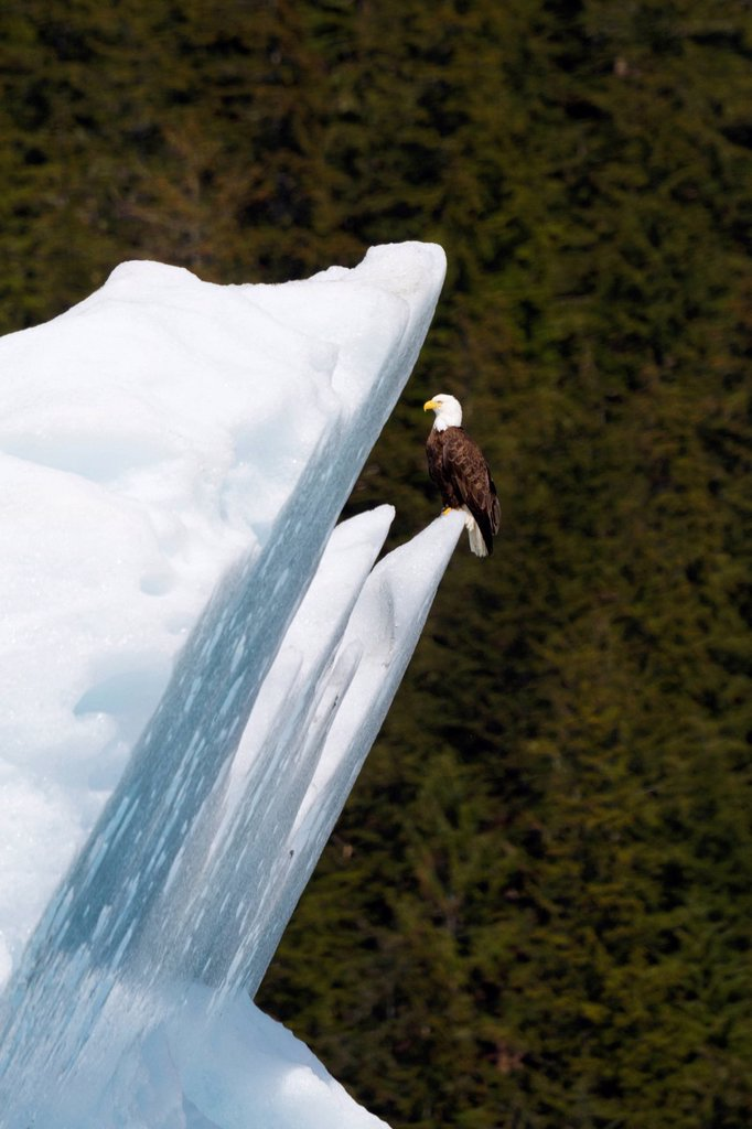 Bald Eagle sitting on a large ice berg in Tracy Arm off Stephens Passage, Southeast Alaska, Summer : Stock Photo