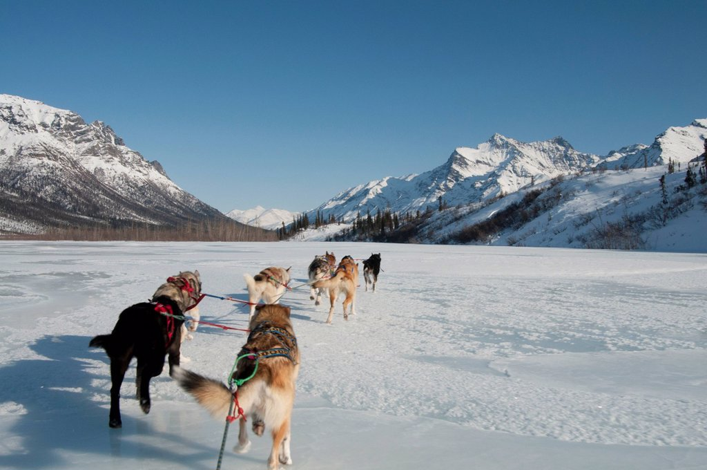 View from the sled while dog mushing up the North Fork of the Koyukuk River in Gates of the Arctic National Park & Preserve. Property release. : Stock Photo