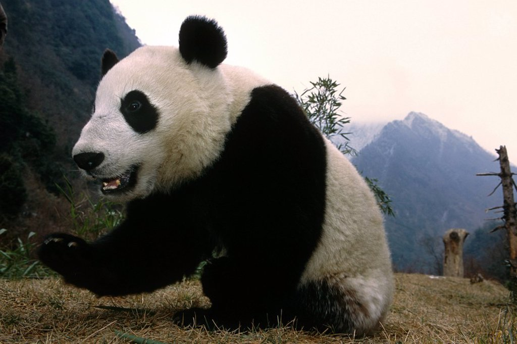 Stock Photo: 4289-12419 Giant Panda w/care taker Wolong Panda Preserve Sichuan Province China