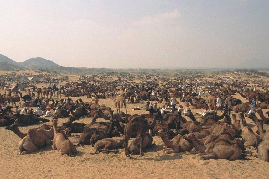 Stock Photo: 4289-12537 Pushkar Camel trading fair Rajasthan Desert India
