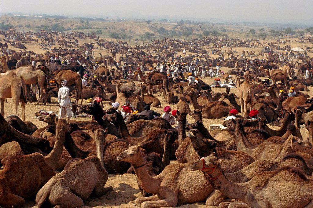 Pushkar Camel trading fair Rajasthan Desert India : Stock Photo