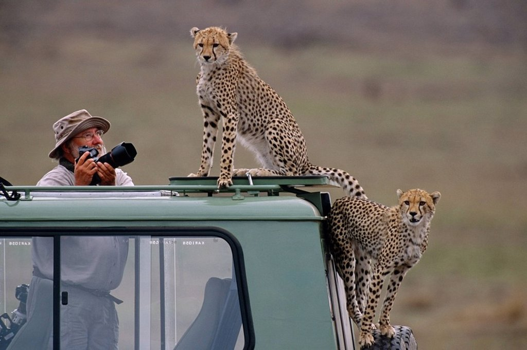 Man photographing Cheetah on vehicle Africa : Stock Photo