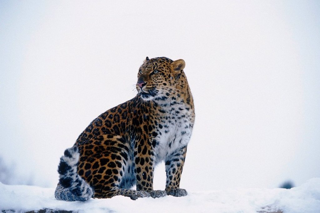 Stock Photo: 4289-12625 Amur Leopard sitting in snow