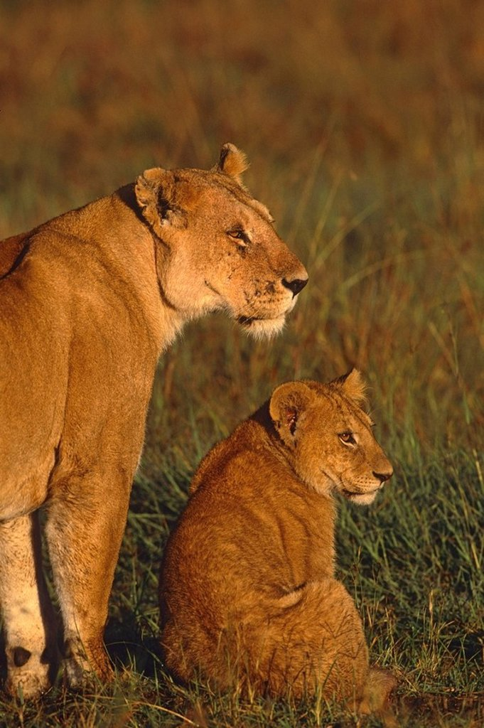 Stock Photo: 4289-12765 Profile portrait of Lioness & young cub in evening light Masai Mara Kenya Africa