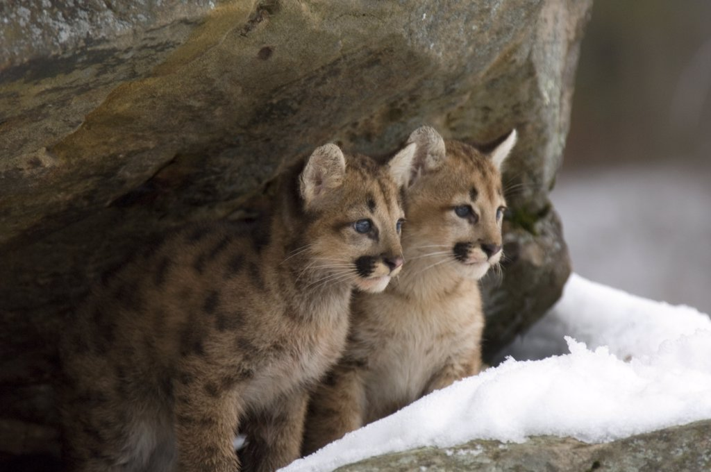 Pair of young cougars sitting under rock ledge in snow Minnesota USA Winter : Stock Photo