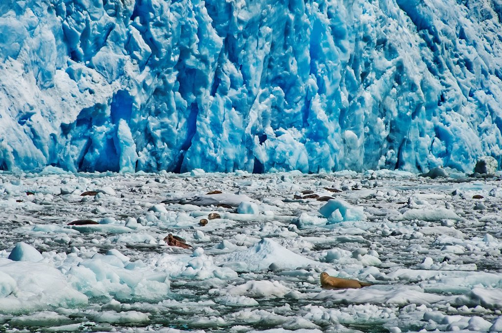 Large group of harbor seals haul out on icebergs in front of South Sawyer Glacier in Tracy Arm, Tracy Arm_Fords Terror Wilderness, Southeast Alaska, Summer : Stock Photo