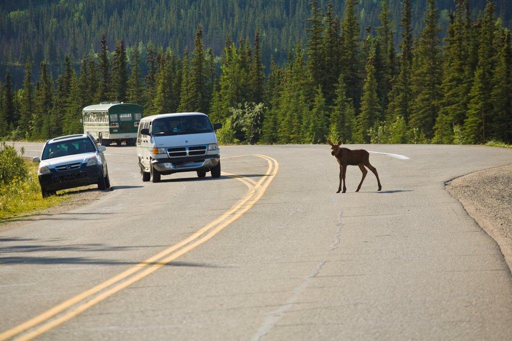 Moose calf crosses the road near the park entrance, Denali National Park, Interior Alaska, Summer : Stock Photo