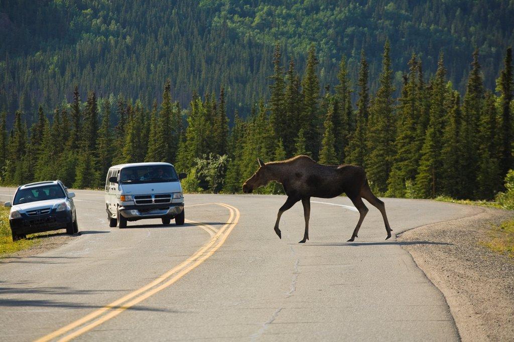 Stock Photo: 4289-13368 Cow moose crosses the road near the park entrance, Denali National Park, Interior Alaska, Summer