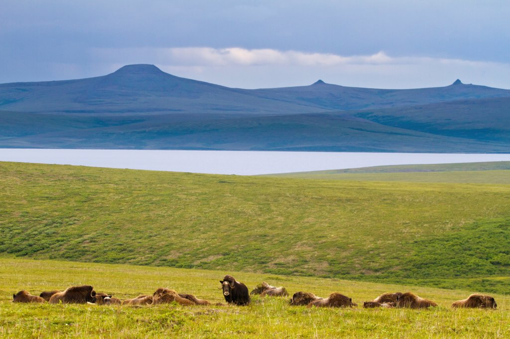 Herd of Musk Ox on tundra above the village of Teller and Port Clarence on Seward Peninsula, Arctic Alaska, Summer : Stock Photo