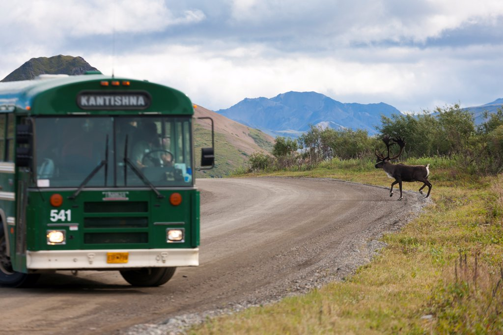 Park shuttle bus stops for caribou crossing park road, Denali National Park & Preserve, Interior Alaska, Summer : Stock Photo