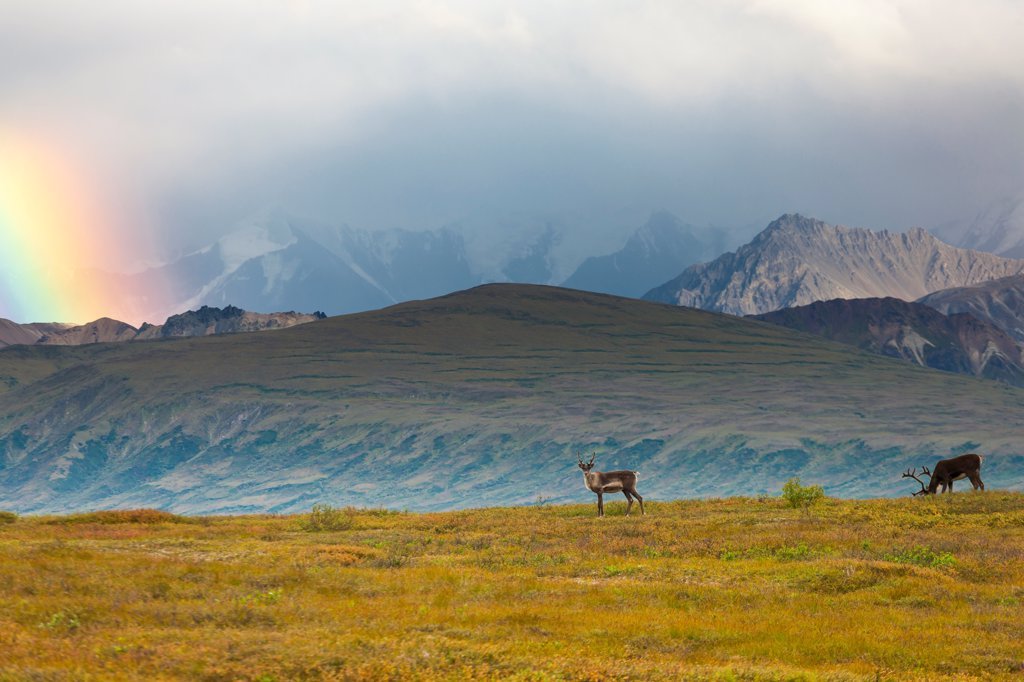 Stock Photo: 4289-13521 Caribou on tundra with rainbow in the background, Denali National Park & Preserve, Interior Alaska, Summer