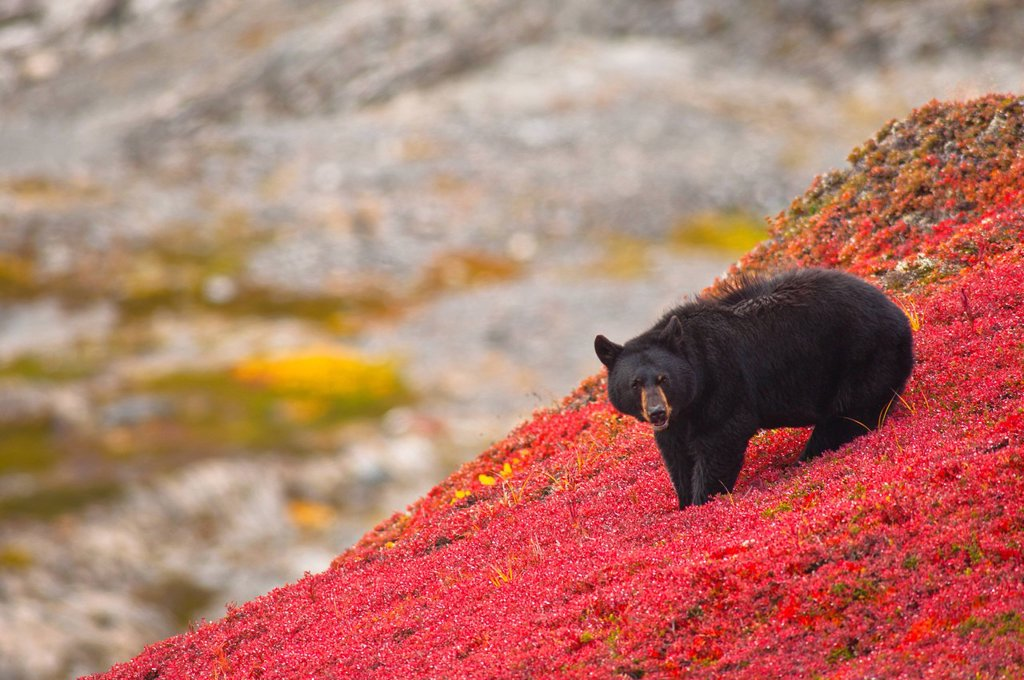 Black bear foraging for berries on a bright red patch of tundra near the Harding Ice field Trail at Exit Glacier, Kenai Fjords National Park, Southcentral Alaska, Autumn : Stock Photo