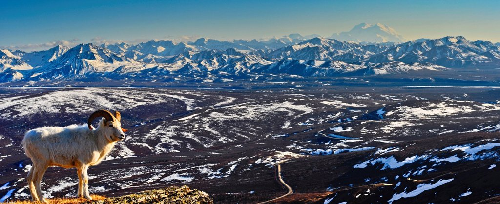 Panoramic view of a Dall sheep ram standing on Mt. Margaret with the Park Road, Mt. McKinley and the Alaska Range in the background, Denali National Park and Preserve, Interior Alaska, Spring : Stock Photo