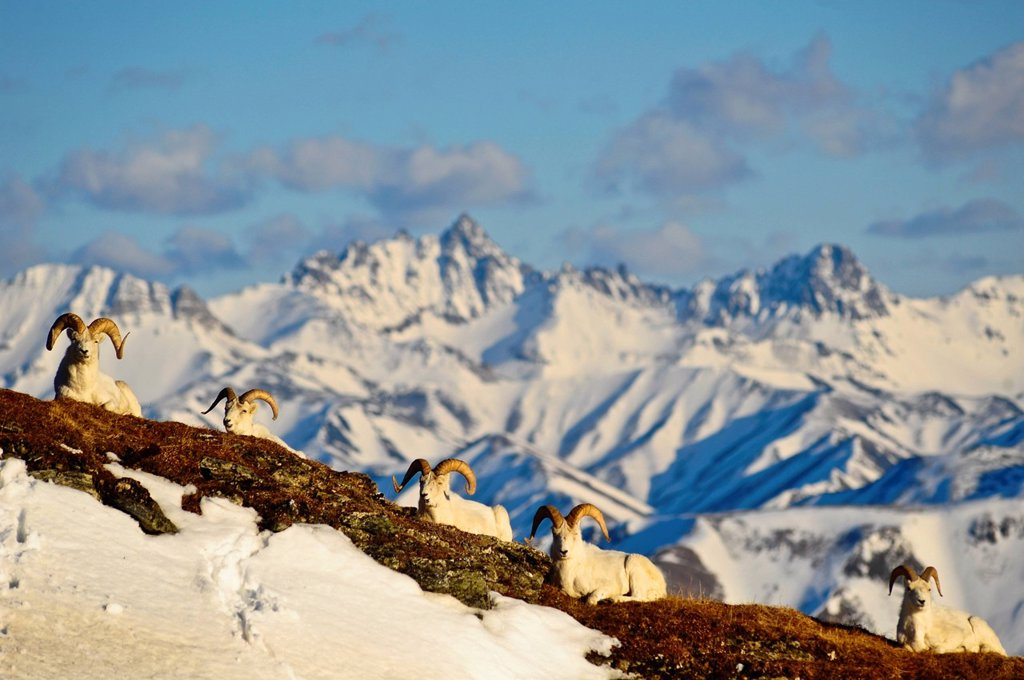 Stock Photo: 4289-13815 Band of Dall sheep rams resting on Mt. Margaret with the Alaska Range and Fang Mountain in the background in Denali National Park and Preserve, Interior Alaska, Spring