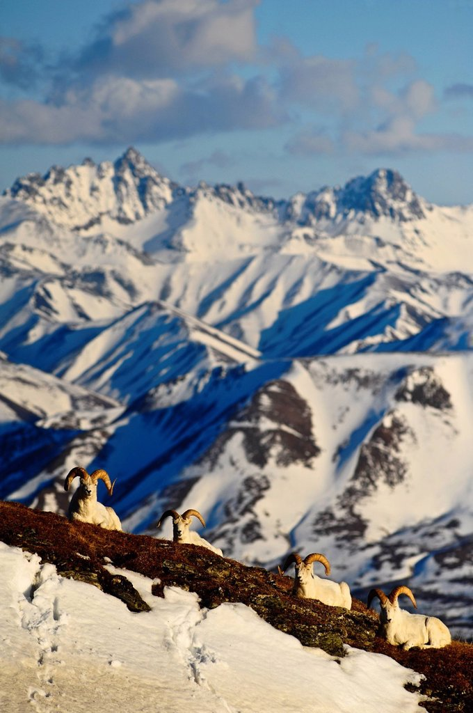 Stock Photo: 4289-13816 Band of Dall sheep rams resting on Mt. Margaret with the Alaska Range and Fang Mountain in the background in Denali National Park and Preserve, Interior Alaska, Spring