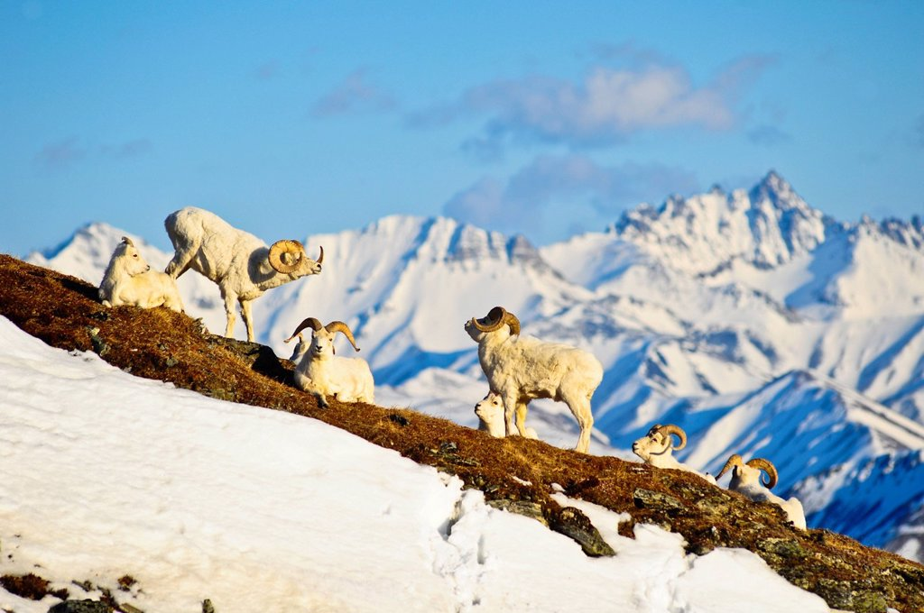 Stock Photo: 4289-13818 Band of Dall sheep rams on Mt. Margaret with the Alaska Range and Fang Mountain in the background in Denali National Park and Preserve, Interior Alaska, Spring