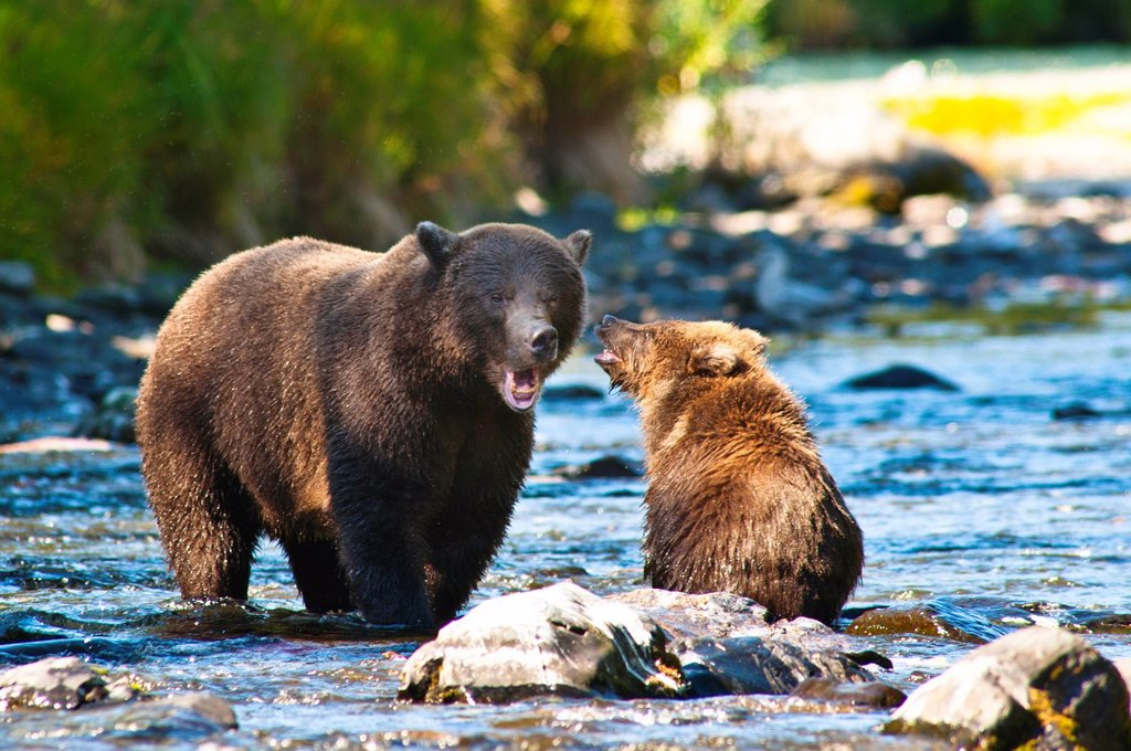 Stock Photo: 4289-13819 Brown bear cub plays with its mother at the Russian River, Kenai Peninsula, Southcentral Alaska
