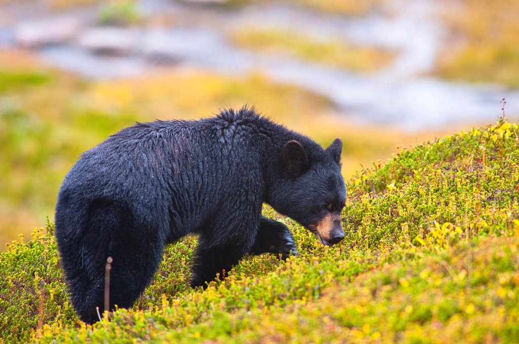 Stock Photo: 4289-13830 A Black Bear is feeding on berries on a hill side near the Harding Ice field trail at Exit Glacier in Kenai Fjords National Park, Southcentral Alaska, Autumn