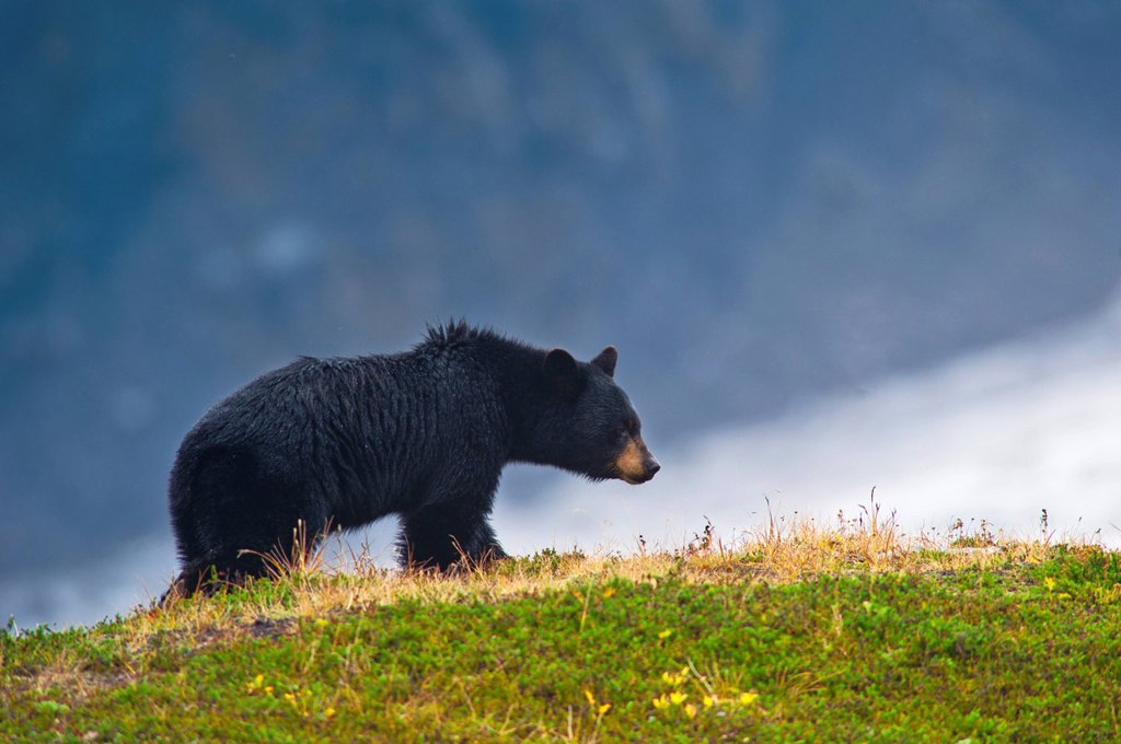 Black Bear standing on alpine hill near the Harding Ice field Trail at Exit Glacier, Kenai Fjords National Park, Southcentral Alaska, Summer : Stock Photo