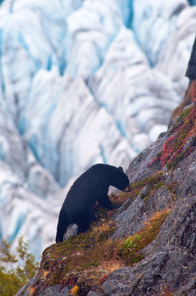 A Black Bear is feeding on berries steep cliff near the Harding Ice field trail at Exit Glacier in Kenai Fjords National Park, Southcentral Alaska, Autumn : Stock Photo