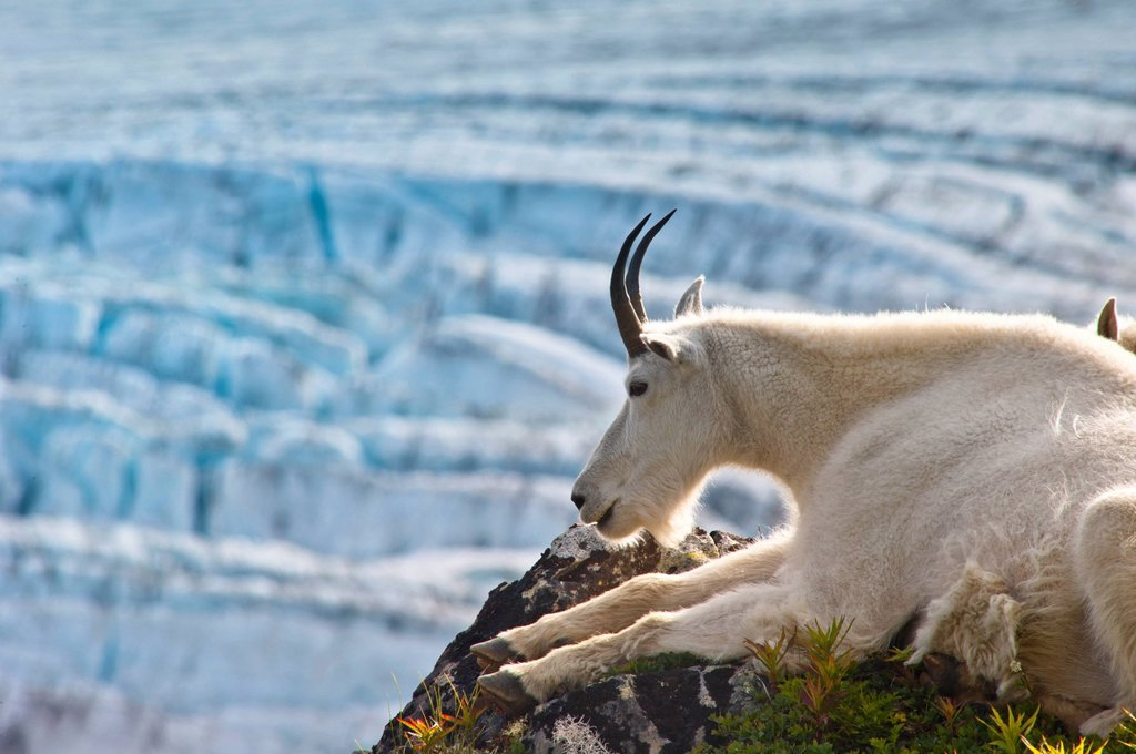 Stock Photo: 4289-13842 Close up of a female Mountain Goat lying on a hillside with Exit Glacier in the background, Southcentral Alaska, Summer