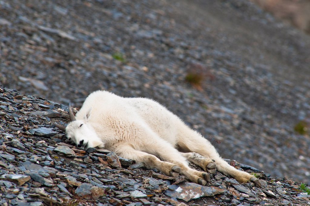 Stock Photo: 4289-13843 A young Mountain goat billy is resting on a hillside near the Harding Ice field Trail at Exit Glacier in Kenai Fjords National Park in Southcentral Alaska, Summer