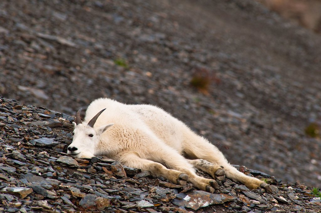 A young Mountain goat billy is resting on a hillside near the Harding Ice field Trail at Exit Glacier in Kenai Fjords National Park in Southcentral Alaska, Summer : Stock Photo