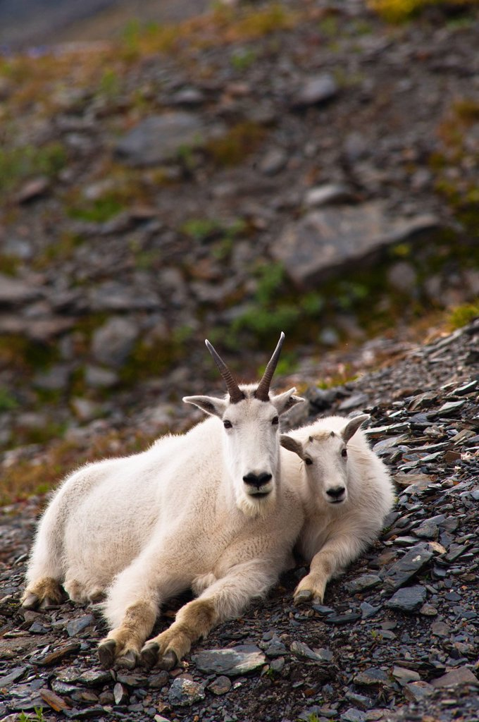 Stock Photo: 4289-13846 A mountain goat nanny and her kid are resting on a hillside near the Harding Ice field Trail at Exit Glacier in Kenai Fjords National Park in Southcentral Alaska, Summer