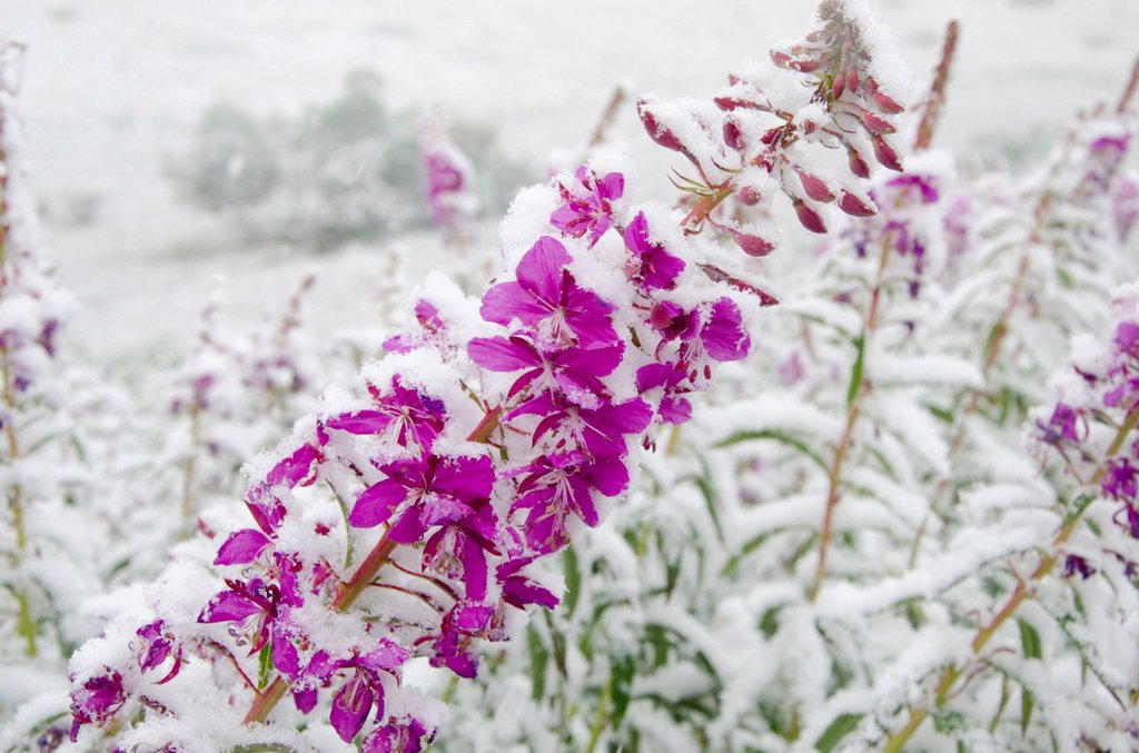 Fireweed flowers covered by late summer snowstorm, Sable Pass, Denali National Park & Preserve, Interior Alaska : Stock Photo