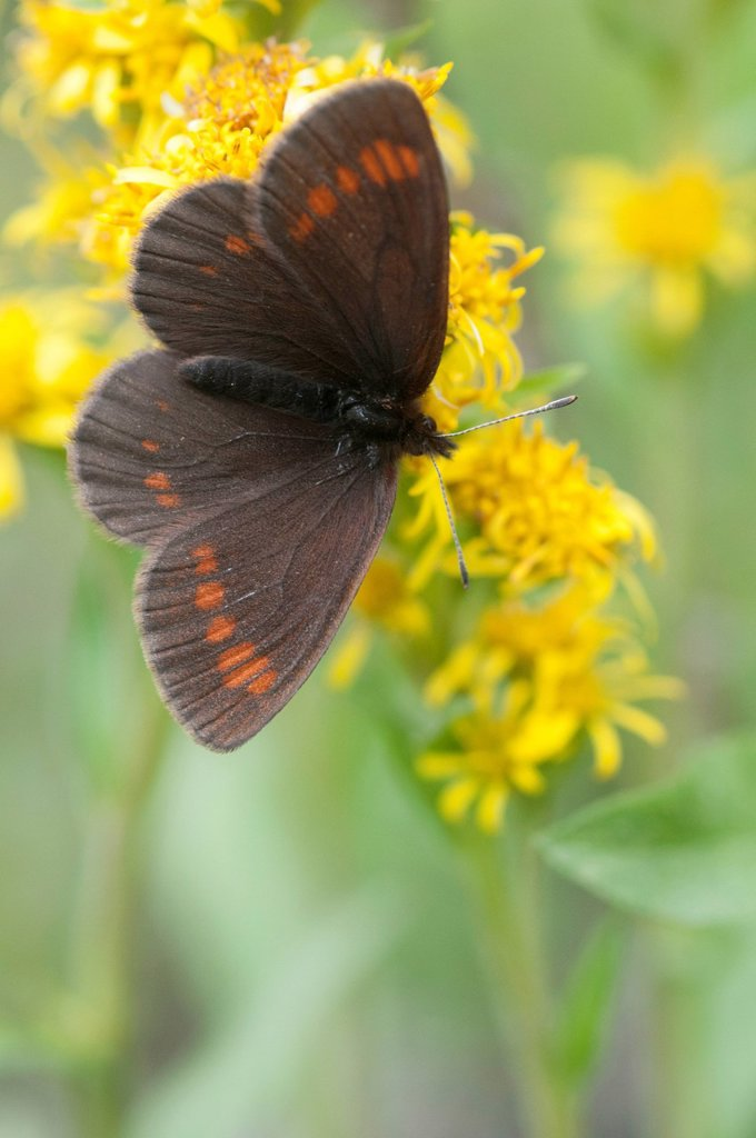 Stock Photo: 4289-13904 Theano Alpine butterfly with wings open perched on a Northern Goldenrod flower, Denali National Park & Preserve, Interior Alaska, Summer