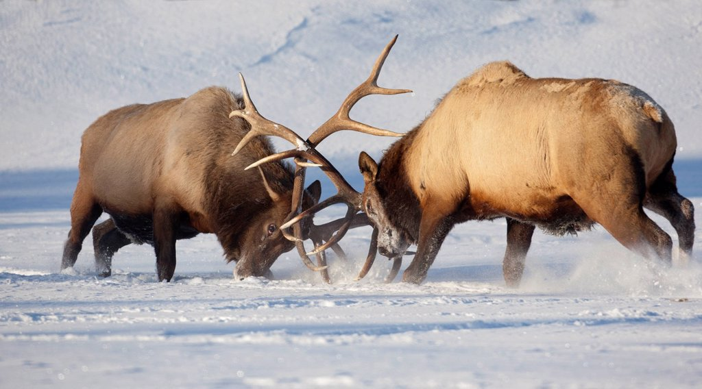 Stock Photo: 4289-13949 CAPTIVE: Roosevelt elk fight during rut season, Alaska Wildlife Conservation Center, Southcentral Alaska, Winter