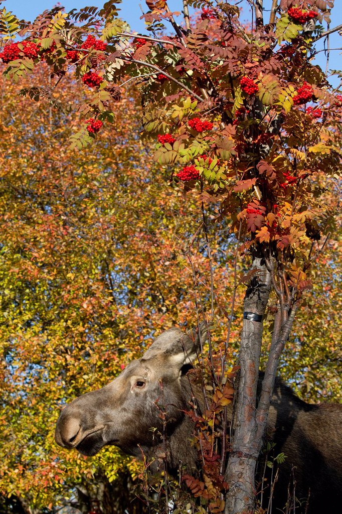 Stock Photo: 4289-13962 Cow moose standing near a Mountain Ash in Anchorage, Southcentral Alaska, Autumn