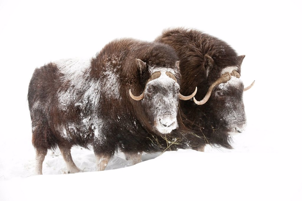 CAPTIVE: Three female Musk Ox stand in deep snow during a winter storm, Alaska Wildlife Conservation Center, Southcentral Alaska : Stock Photo