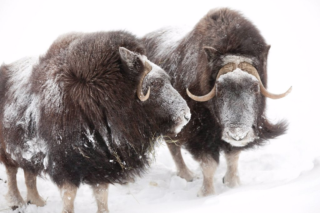 Stock Photo: 4289-13984 CAPTIVE: Three female Musk Ox stand in deep snow during a winter storm, Alaska Wildlife Conservation Center, Southcentral Alaska