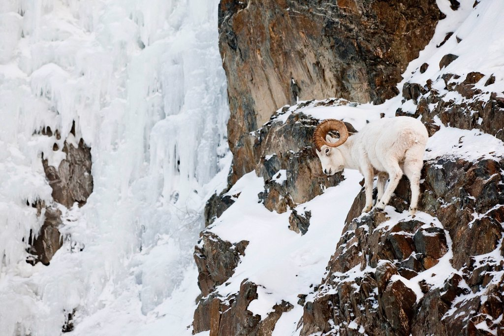 A full_curl Dall ram stands next to a large ice wall along the Seward Highway, Southcentral Alaska, Winter : Stock Photo