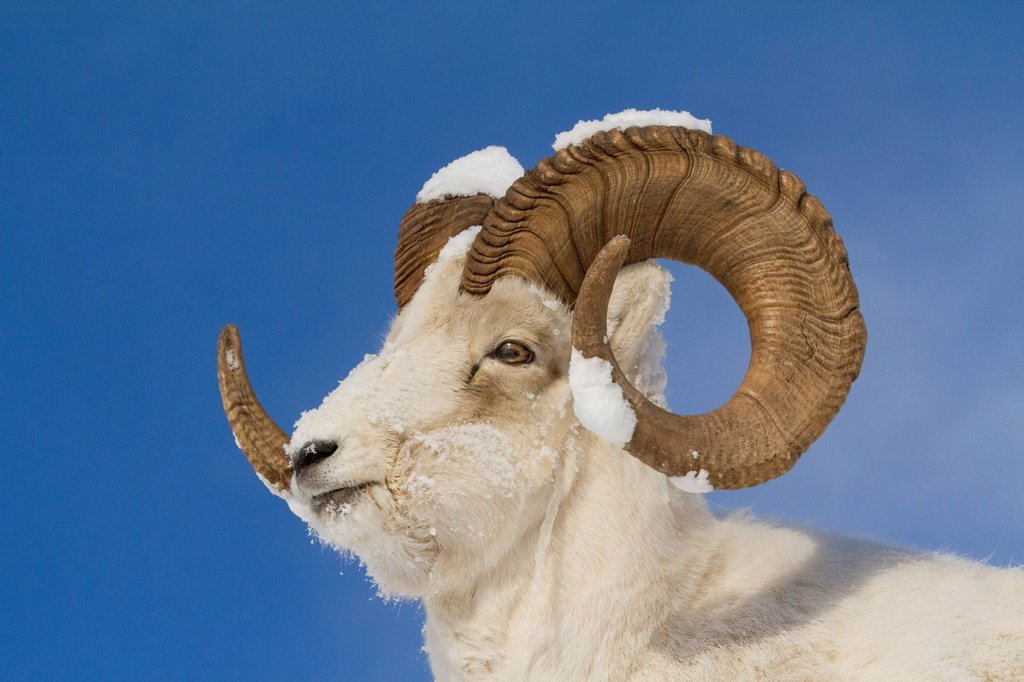 Close up of a full_curl Dall Sheep ram with snow on its horns, Chugach Mountains, Southcentral Alaska, Winter : Stock Photo