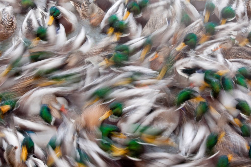 Abstract of a large flock of swimming Mallard ducks in a pond in Anchorage, Alaska, Winter : Stock Photo