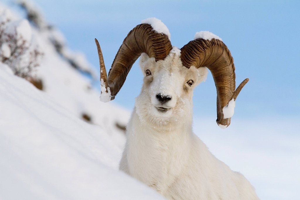 Close up of a full_curl ram Dall Sheep standing on a steep slope in deep snow, Chugach Mountains, Southcentral Alaska, Winter : Stock Photo