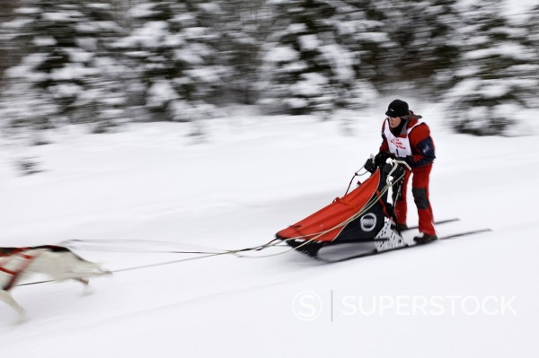 Musher Ken Chezik competing in the Fur Rendezvous World Sled Dog Championships on the Campbell Creek trail in Anchorage, Southcentral Alaska, Winter : Stock Photo