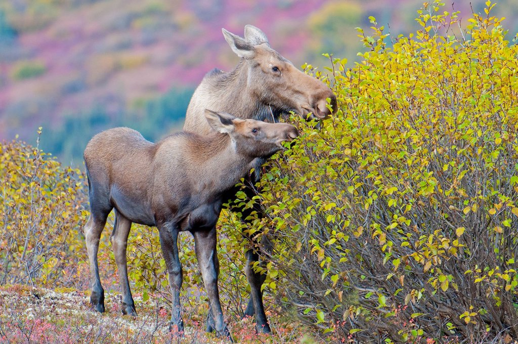 Stock Photo: 4289-14015 Cow and Calf moose eat fall birch leaves in Denali National Park & Preserve, Interior Alaska