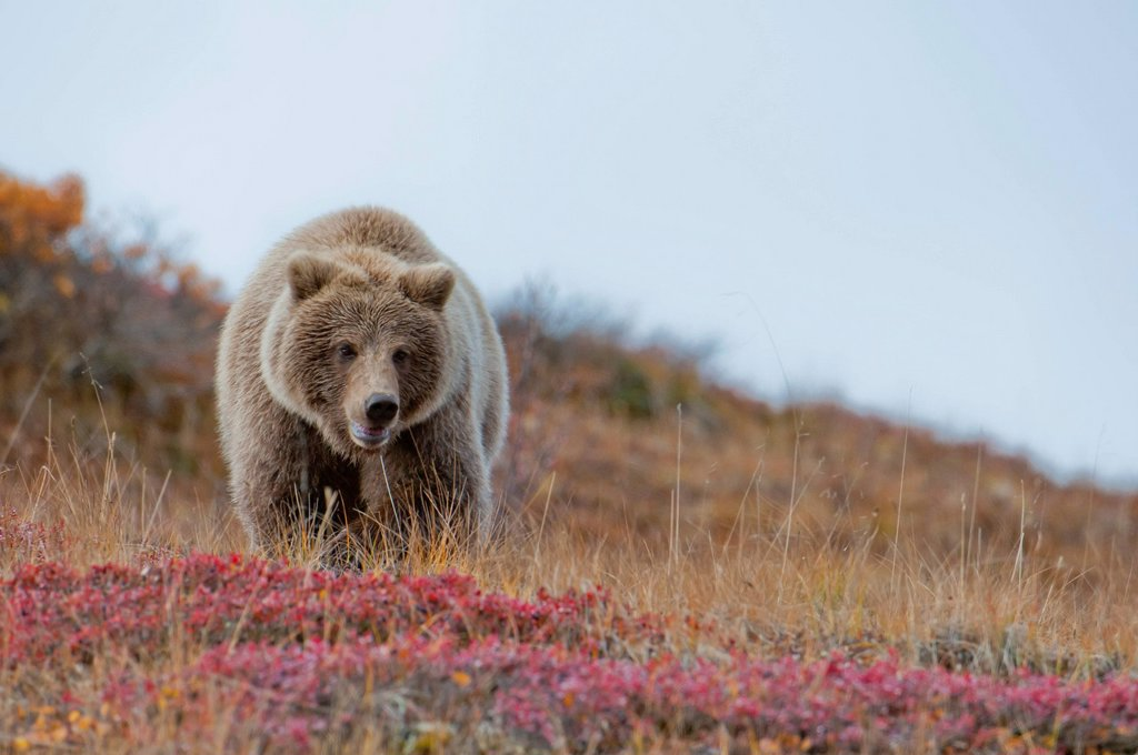 Grizzly walking on fall tundra in Denali National Park & Preserve, Interior Alaska : Stock Photo