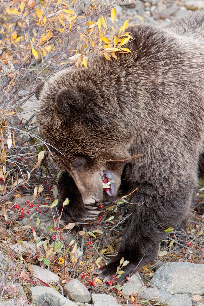 Grizzly eats red berries in fall in Denali National Park & Preserve, Interior Alaska : Stock Photo