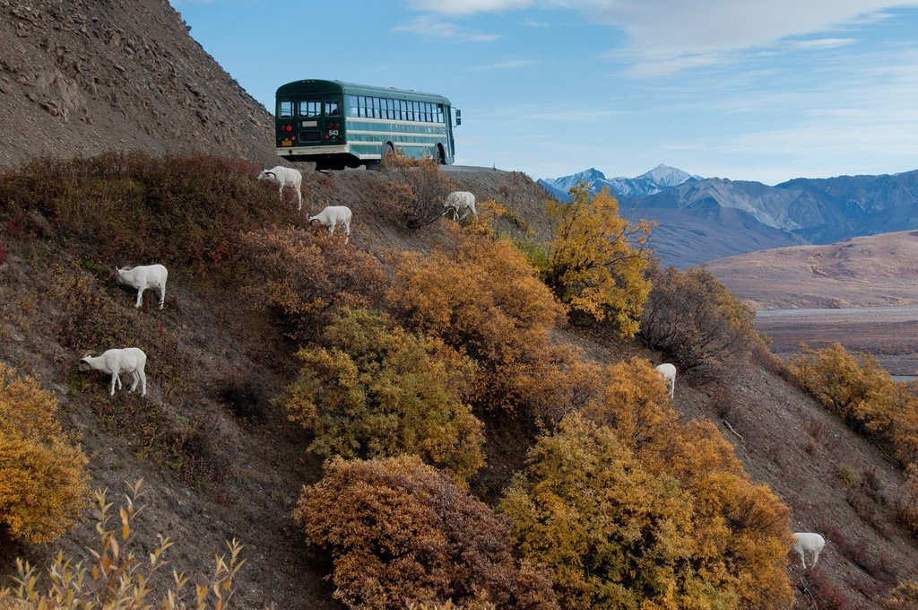 Denali shuttle bus stops for a band of ram Dall Sheep along the park road in Denali National Park & Preserve, Interior Alaska, Autumn : Stock Photo