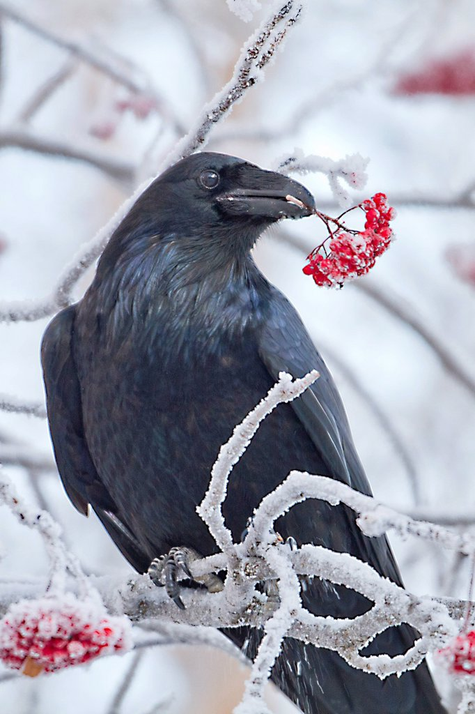Stock Photo: 4289-14028 Close up of a raven with Mountain Ash berries in its beak, Anchorage, Southcentral Alaska, Winter