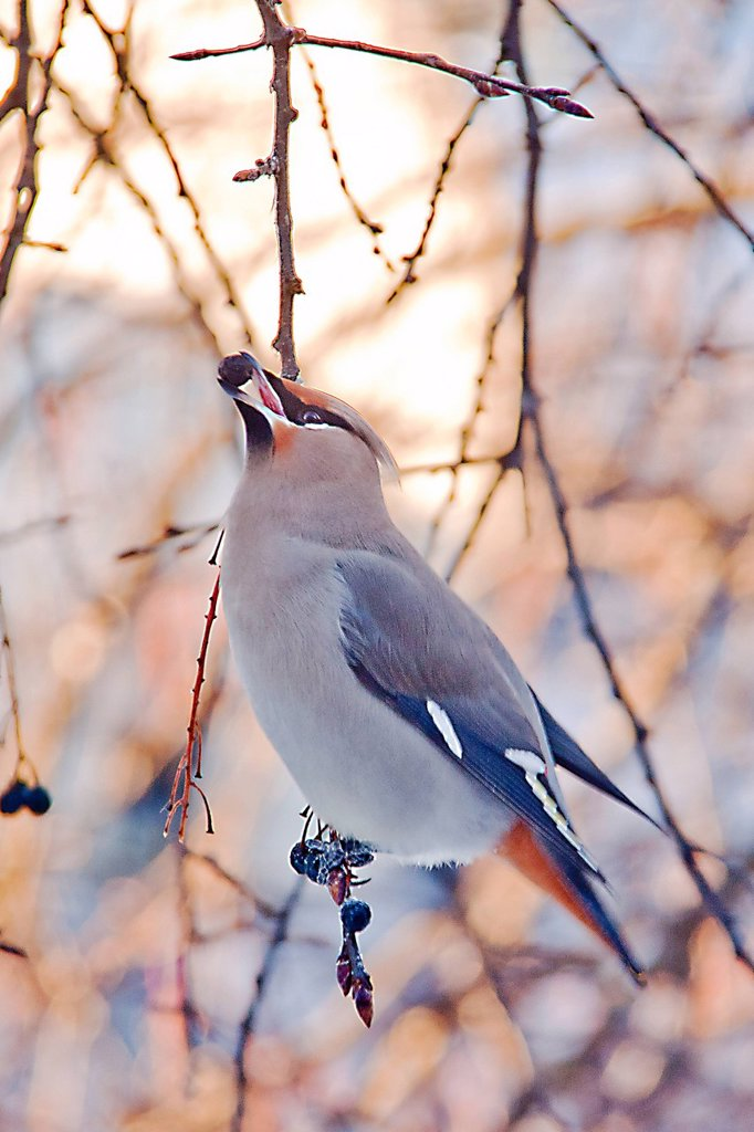 Bohemian Waxwing perched on a branch with a Chokecherry in its beak, Anchorage, Southcentral Alaska, Winter : Stock Photo