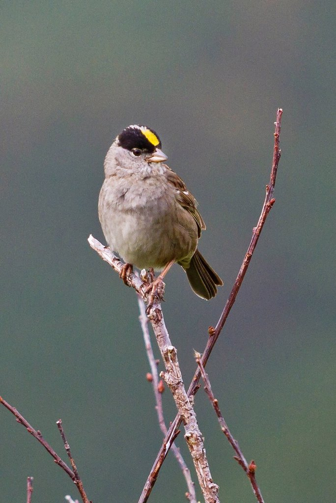 Stock Photo: 4289-14039 Golden_Crowned Sparrow perched on a branch in Turnagain Pass, Southcentral Alaska, Summer