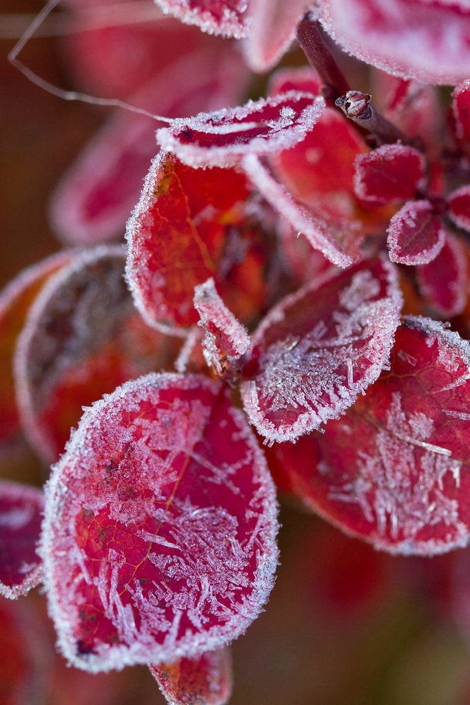 Macro a frost covered tundra plant, Maclaren River Valley, Southcentral Alaska, Autumn : Stock Photo