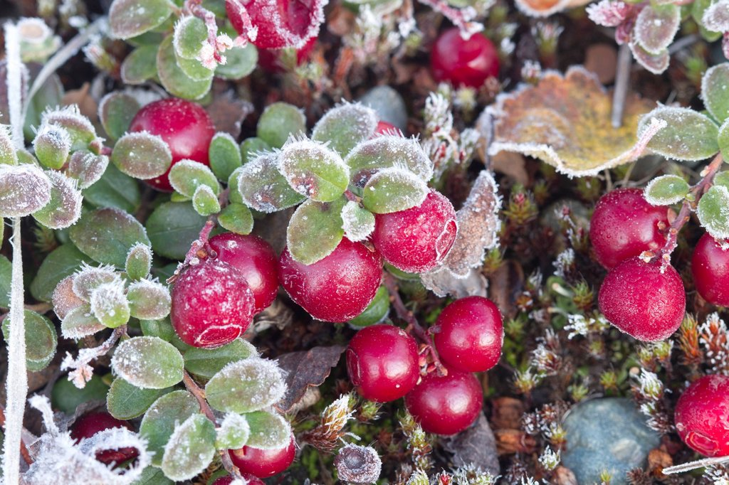 Macro of Low Bush cranberries, Maclaren River Valley, Southcentral Alaska, Autumn : Stock Photo