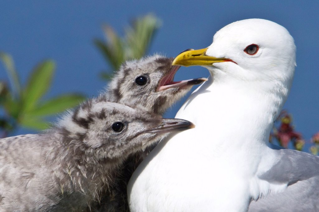 Stock Photo: 4289-14063 Close up of a Mew Gull with two hungry chicks, Potter Marsh, Southcentral Alaska, Summer